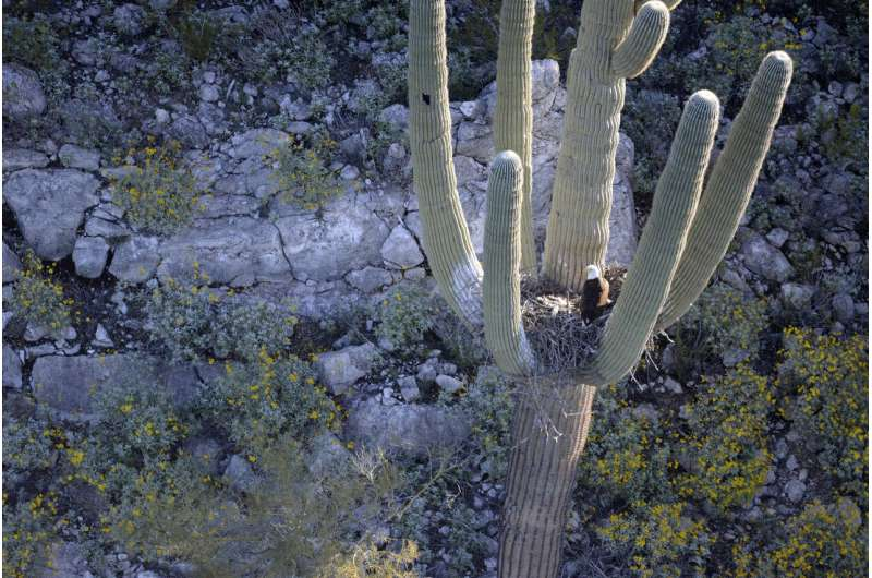 Bald eagles, eaglets found nesting in arms of Arizona cactus