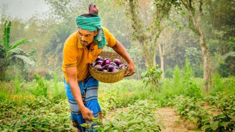 Bangladeshi eggplant farmers reap rewards via genetics