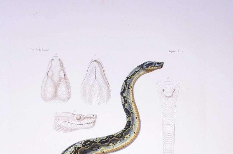 Beads made of boa bones identified in lesser Antilles