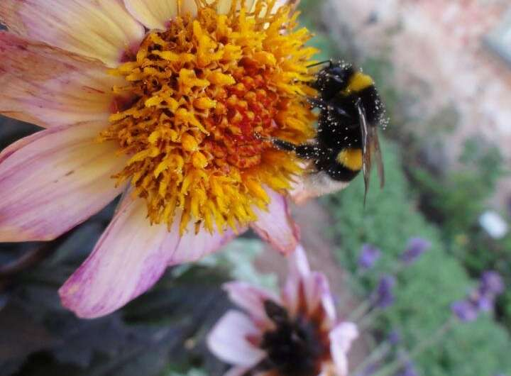 Big bumblebees learn locations of best flowers