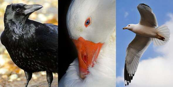 Bird droppings carry risk of antibiotic resistance