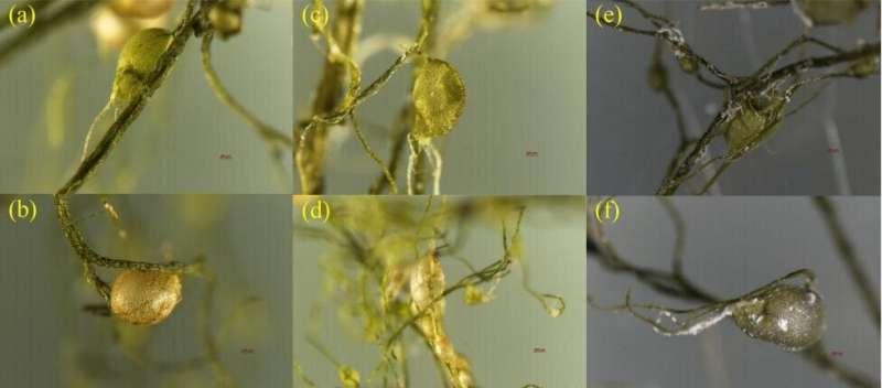 Bladder intake of microplastics induces toxicity in utricularia aurea lour