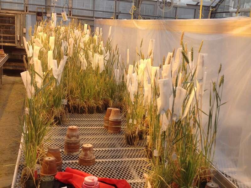 Breeding a hardier, more nutritious wheat