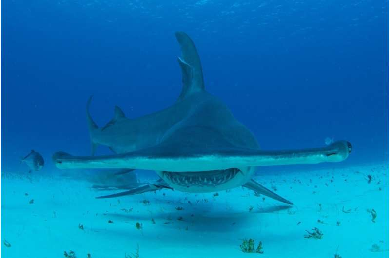 Can't touch this! Video shows blacktip sharks use shallow water to flee huge predators