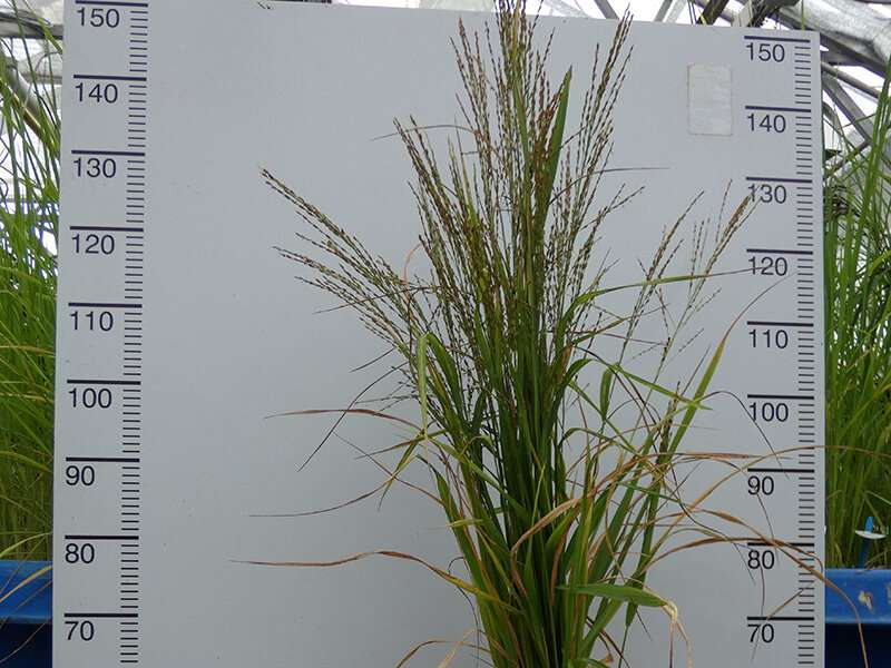 Cataloguing the rice collection for crop improvement