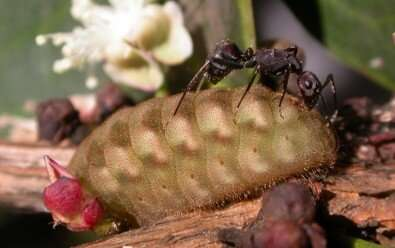 Caterpillars mimic leaves or offer rewards for protection by ants