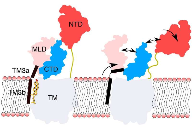 Cholesterol binding sends long-distance communication signals in proteins