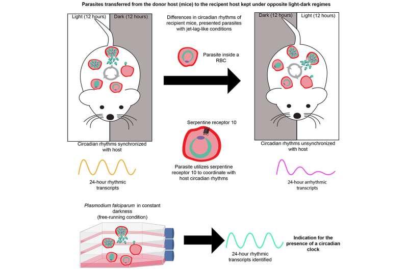Clocking in with malaria parasites