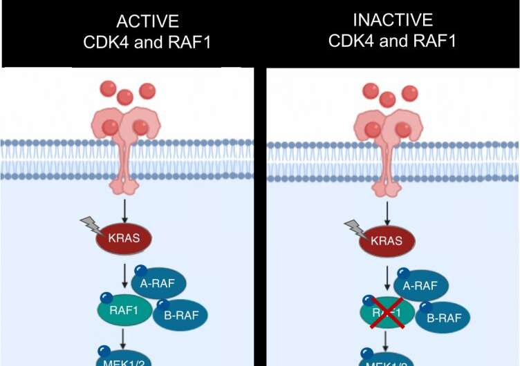 CNIO researchers develop an effective strategy against KRAS mutant lung tumors in mice