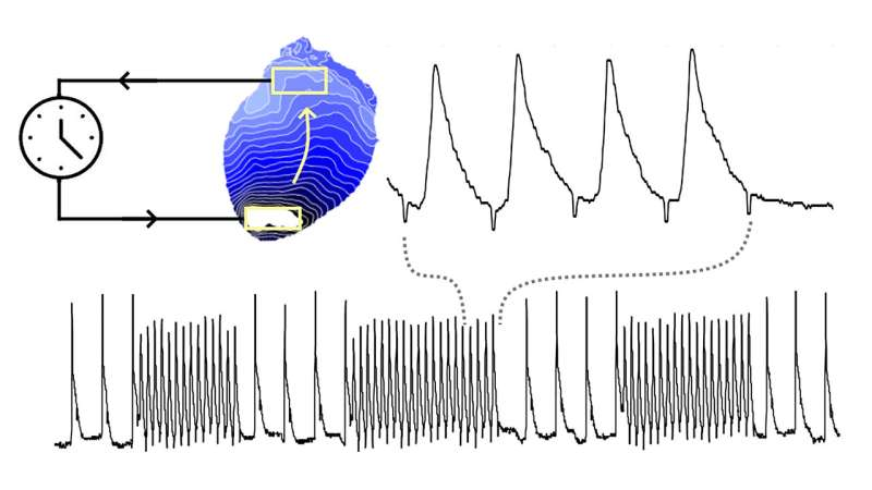 Controlling cardiac waves with light to better understand abnormally rapid heart rhythms