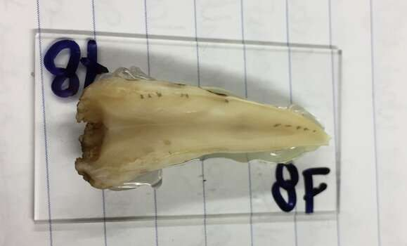 Decades‑old teeth are teaching researchers about the life cycles of bottlenose whales