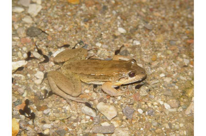 Do big tadpoles turn into big frogs? It's complicated, study finds