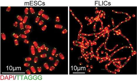 Embryonic stem cells have their own strategy for protecting chromosome ends