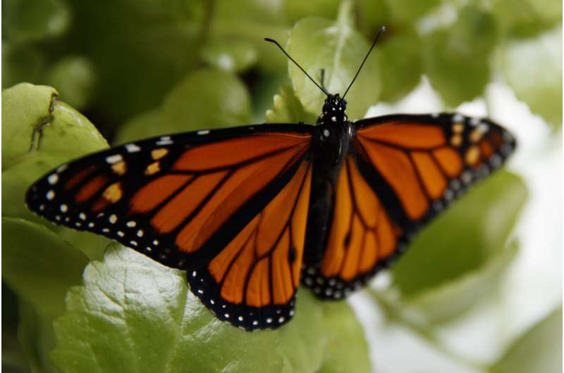 Feds to delay seeking legal protection for monarch butterfly