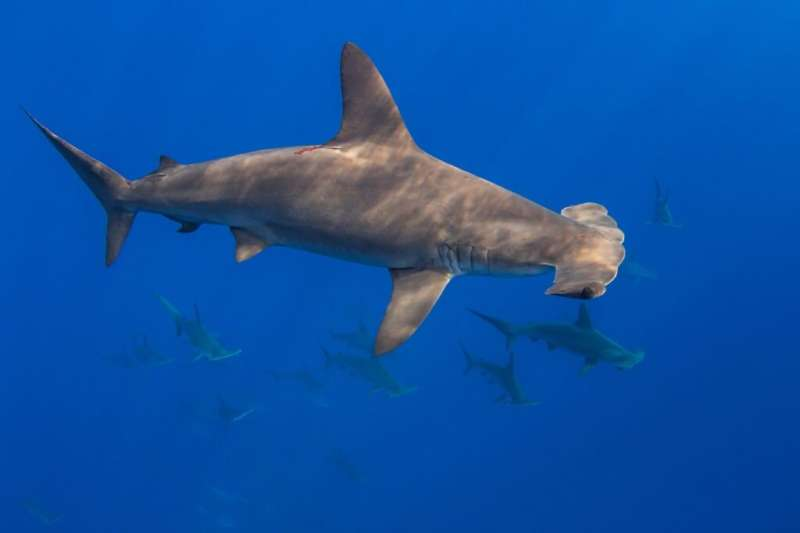 Fins from endangered hammerhead sharks in Hong Kong market traced mainly to Eastern Pacific