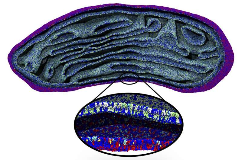 First simulation of a full-sized mitochondrial membrane
