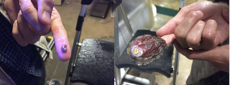 For red abalone, resisting ocean acidification starts with mom