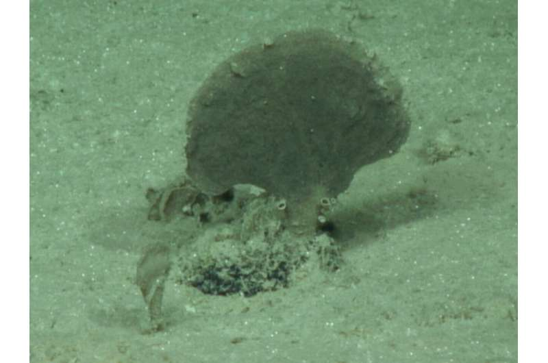 Four new species of giant single-celled organisms discovered on Pacific seafloor