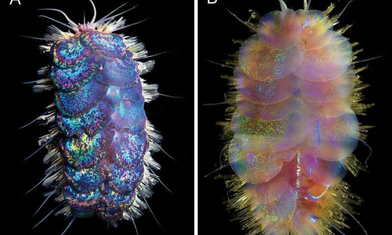 Four species of Elvis worm identified on the deep sea floor