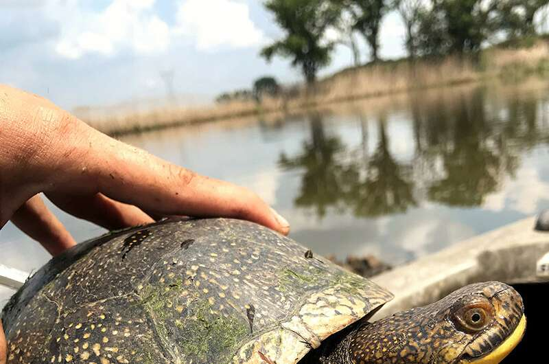 Gathering data to save a rare turtle