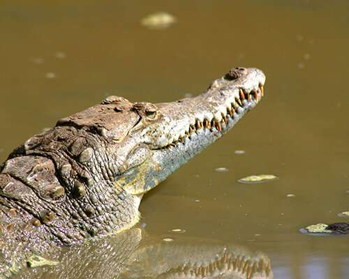 Genetic differences between global American Crocodile populations identified in DNA analysis
