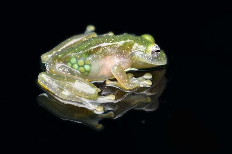 Glass frogs, ghost shrimp and clearwing butterflies use transparency to evade predators