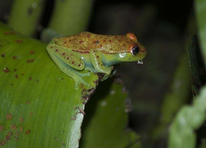 Green is more than skin-deep for hundreds of frog species