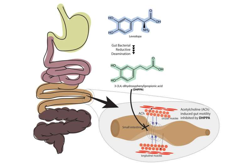 Gut bacteria could be responsible for side effect of Parkinson's drug