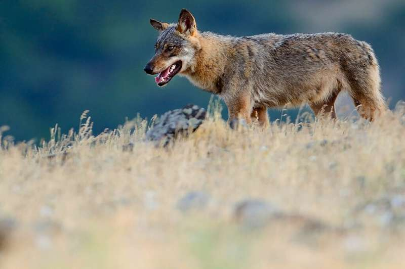 Handout photo from Rewilding Europe shows an Eurasian grey wolf (Canis lupus) walking at a vulture watching site in the Madzharo