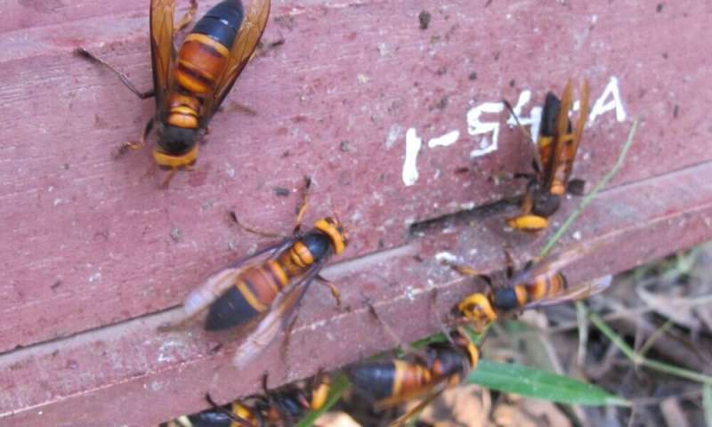 Honey bees use animal feces to deter deadly giant hornet attacks