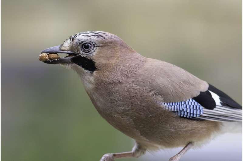 How birds evolved big brains