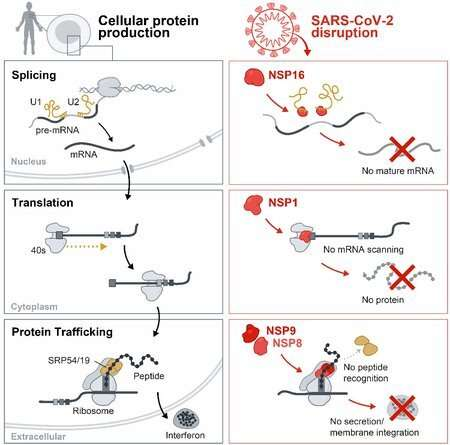 How SARS-CoV-2 disables the human cellular alarm system