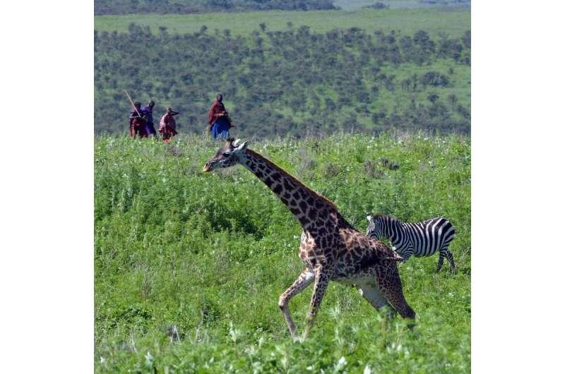 Human presence weakens social relationships of giraffes