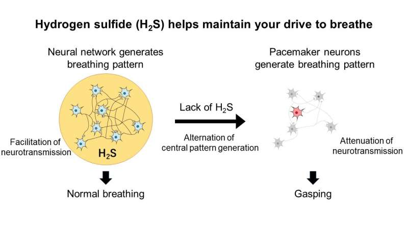 Hydrogen sulfide helps maintain your drive to breathe