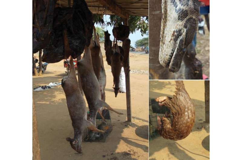 Illegal hunting and bushmeat trade threatens biodiversity and wildlife of Angola
