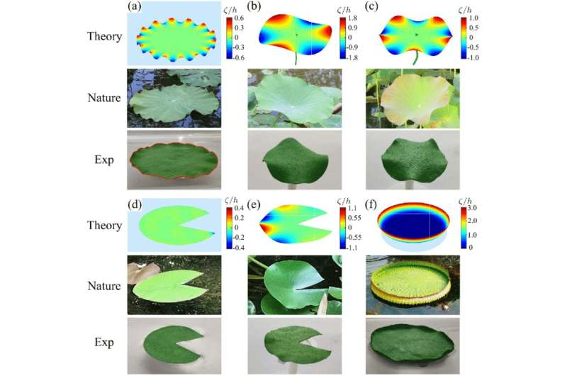 Improved mathematical model helps explain different types of leaves on lotus plant