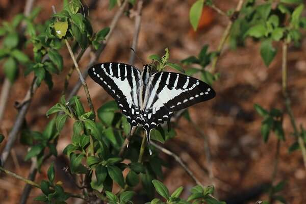 Interactions between Human‐modified Habitat Change and Climate Change Shape Tropical Butterfly Biodiversity in Yunnan