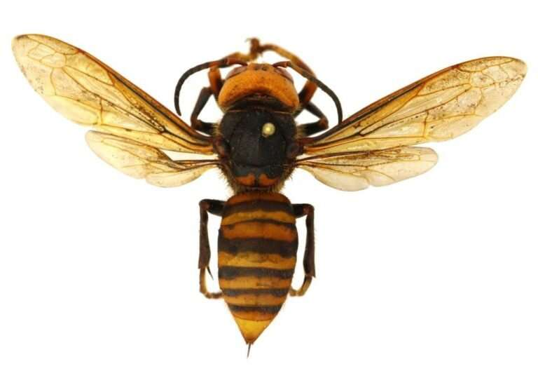 It's big, but it's not a 'murder hornet'