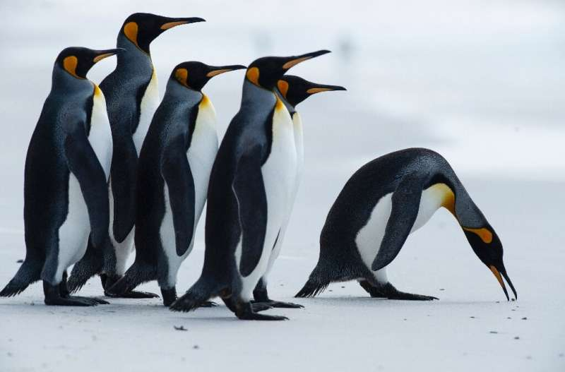 King penguins like these could see their foraging routes cut off by the giant iceberg