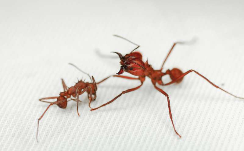 Leaf-cutter ant first insect found with biomineral body armour