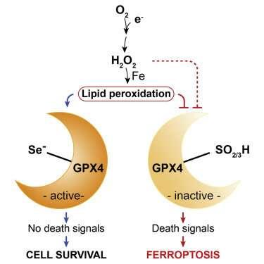 Life's constant struggle against ferroptosis
