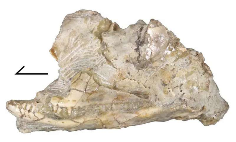 Lizard skull fossil is new and 'perplexing' extinct species