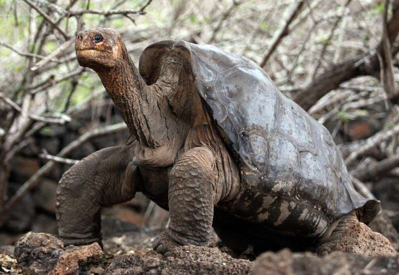 Lonely George, the last giant tortoise of the Pinta species, is seen at Galapagos National Park on Santa Cruz Island in June 200