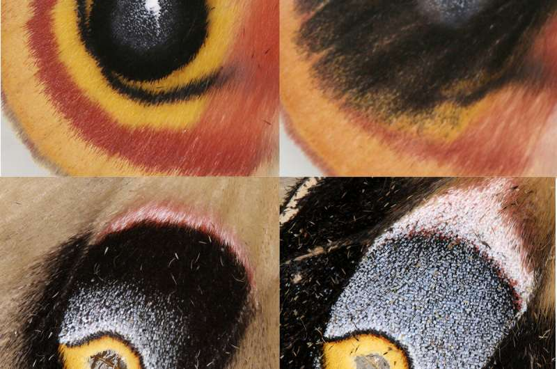 Lyin' eyes: Butterfly, moth eyespots may look the same, but likely evolved separately