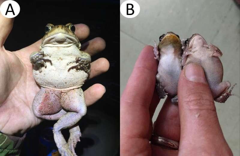 Miniature guttural toads on Mauritius and Réunion stun researchers