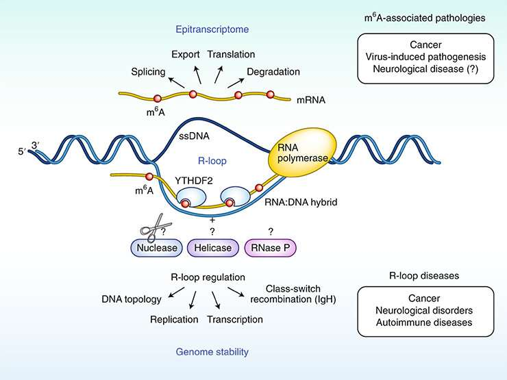 Modified RNA has a direct effect on DNA