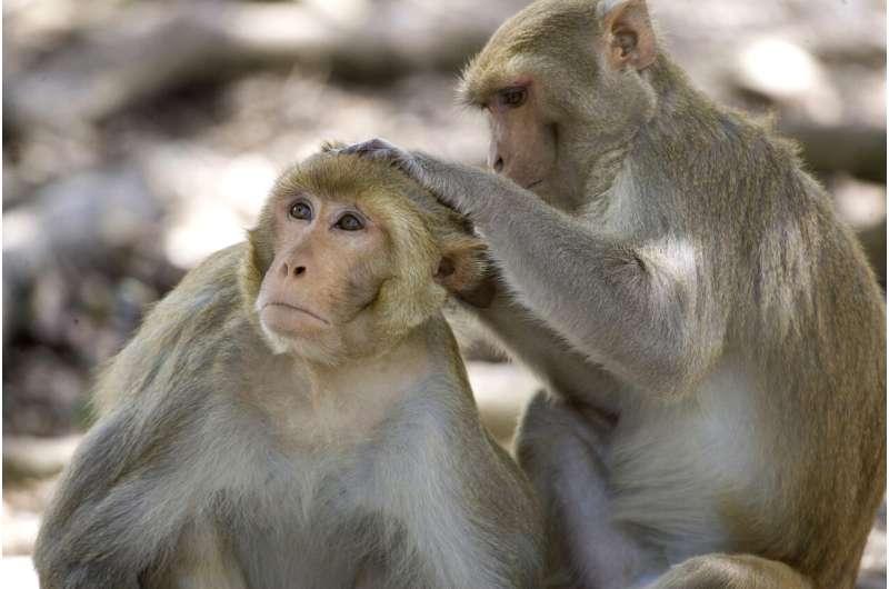 Monkeys, ferrets offer needed clues in COVID-19 vaccine race
