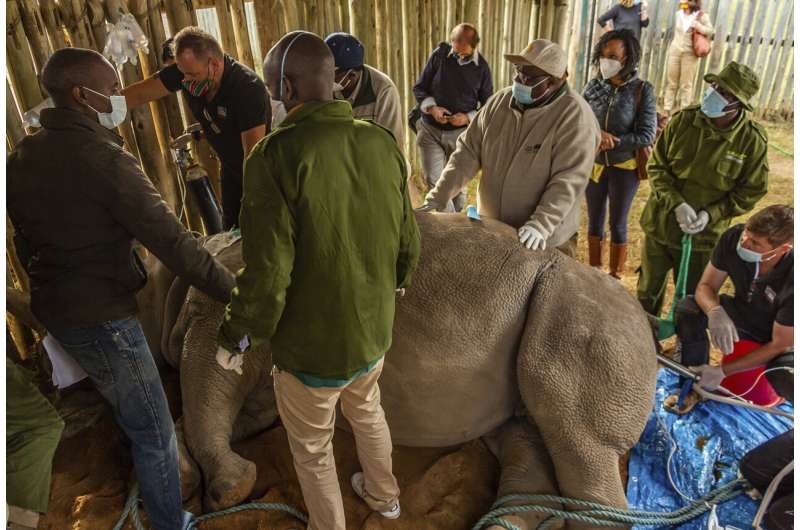 More eggs harvested from last 2 northern white rhinos