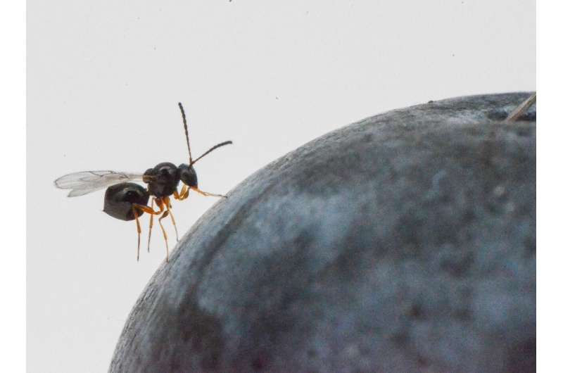 Natural enemy of Asian fruit fly - previously thought to be one species - is in fact two