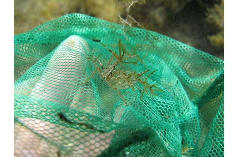 Notice me! Neglected for over a century, Black sea spider crab re-described